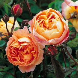 Lady Emma Hamilton David Austin Fragrant Rose 6 Litre