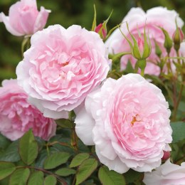 Lady Salisbury David Austin Rose