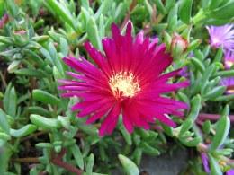 Lampranthus Roseus Alpine in a 9cm Pot