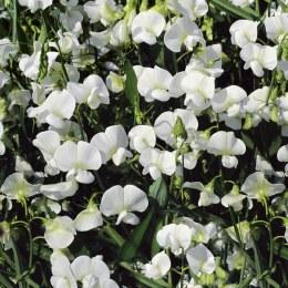 Lathyrus latifolius White Pearl'   Everlasting sweet pea