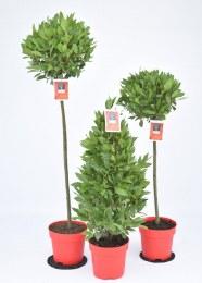 Laurus nobilis | Bay Laurel 50-70cm Stem Half Standard or 60cm Pyramid