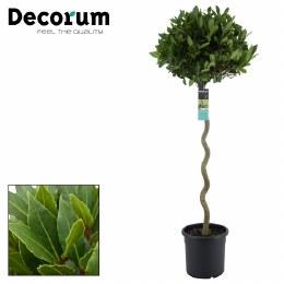 Laurus nobilis  Spiral half standard 150cm stem with a 50cm ball head