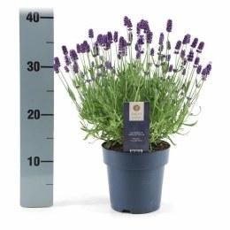 Lavandula angustifolia Felice 1.5 Litre