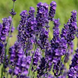 Lavender angustifolia Hidcote P13