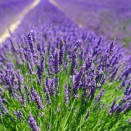 Lavender angust. Munstead