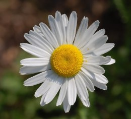 Leucanthemum 'May Queen'