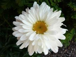 Leucanthemum Victorian Secret | Shasta Daisy