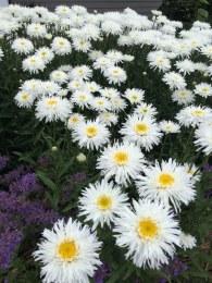 Leucanthemum 'Sante' | Shasta Daisy