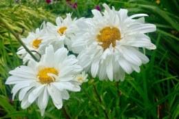 Leucanthemum 'Victorian Secret' - 2 Litre