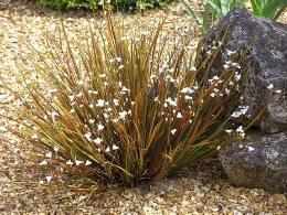 Libertia ixioides Taupo Sun