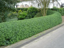 Green Privet Hedging | Ligustrum ovalifolium - 2 Litre 60cm