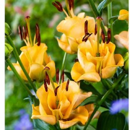 Lily Apricot Fudge - Asiatic Lily