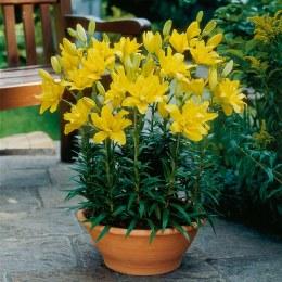 Lily Fata Morgana - Asiatic Lily