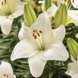 Lily Happy Snow - Asiatic Lily