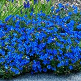 Lithodora diff. Heavenly Blue