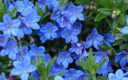 Lithodora diffusa 'Grace Ward'