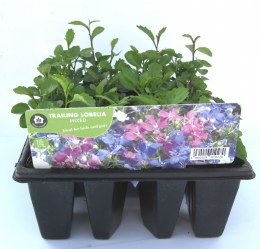 Lobelia 12 Pack Trailing Mix