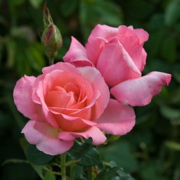 Lovely Lady Hybrid Tea Rose - 3 Litre