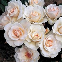 Margaret Merrill Floribunda Rose - 3 Litre