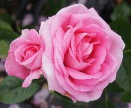 Mum In A Million Hybrid Tea Rose - 3.5 Litre