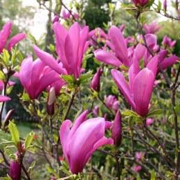 Magnolia 'Susan' 80cm