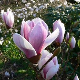 Magnolia soul. Satisfaction