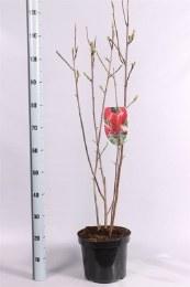 Magnolia liliiflora Nigra C7.5