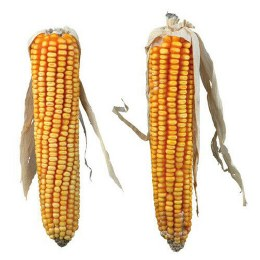 2 x Maize Cobs with Husk 250g