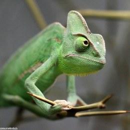Chameleon Yemen Male