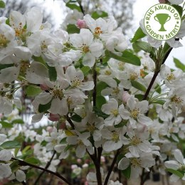 Malus 'Evereste' | Flowering Crab Apple Tree
