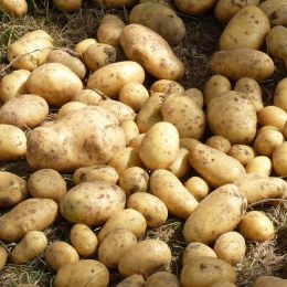 Maris Bard Potato 10 pack - First Early