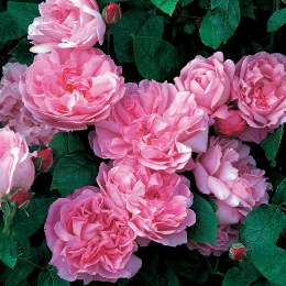 Mary Rose David Austin Fragrant Rose 6 Litre on Trellis