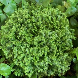Meadow Spikemoss