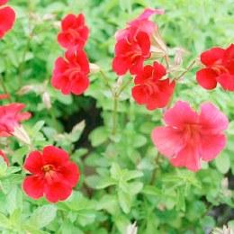 Mimulus 'Red Emperor' p9
