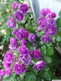 Minerva Climbing Rose 5 Litre