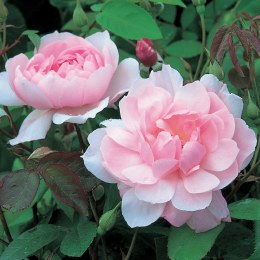 Mortimer Sackler - David Austin Climbing Rose - 4 Litre