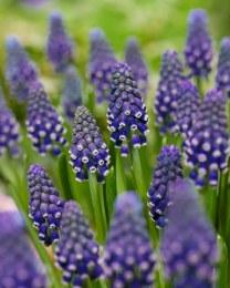 Muscari armeniacum 'Night Eyes'   Grape Hyacinth Deep Blue 12 Bulbs