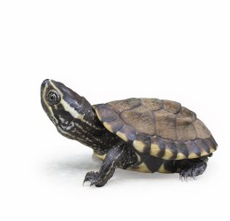 Terrapin Musk Turtle Small