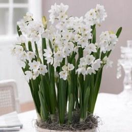 Daffodil - Narcissus Paperwhite Ziva
