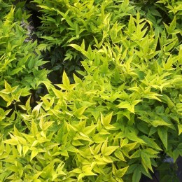 Nandina dom Magical Lemo&Lime