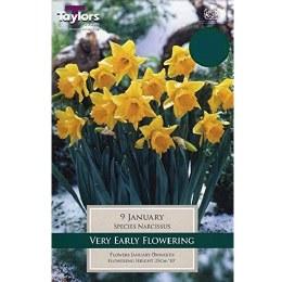 Daffodil - Narcissus 'January'