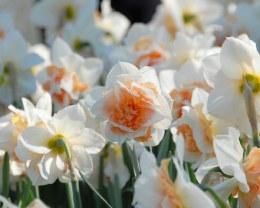 Daffodil- Narcissus Replete
