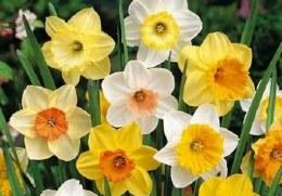 Daffodil - Narcissus Mixed Bag - 7kg