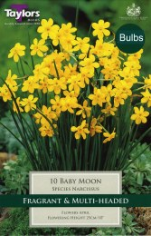 Daffodil - Narcissus Baby Moon