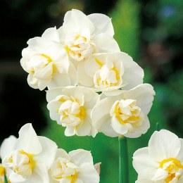 Daffodil - Narcissus 'Cheerfulness White'   Double Daffodil 5 Pack