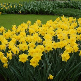 Daffodil - Narcissus Dutch Master - 7kg