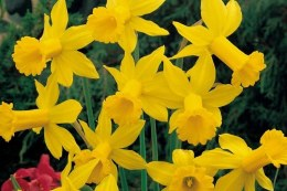 Daffodil - Narcissus February Gold