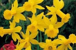 Daffodil - Narcissus February Gold