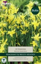 Daffodil - Narcissus Hawera