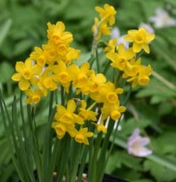 Daffodil - Narcissus Little Oliver